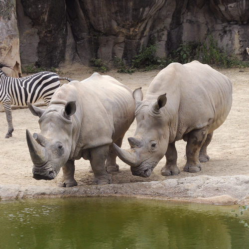 White Rhinos at the African Journey exhibit at the Maryland Zoo In Baltimore.
