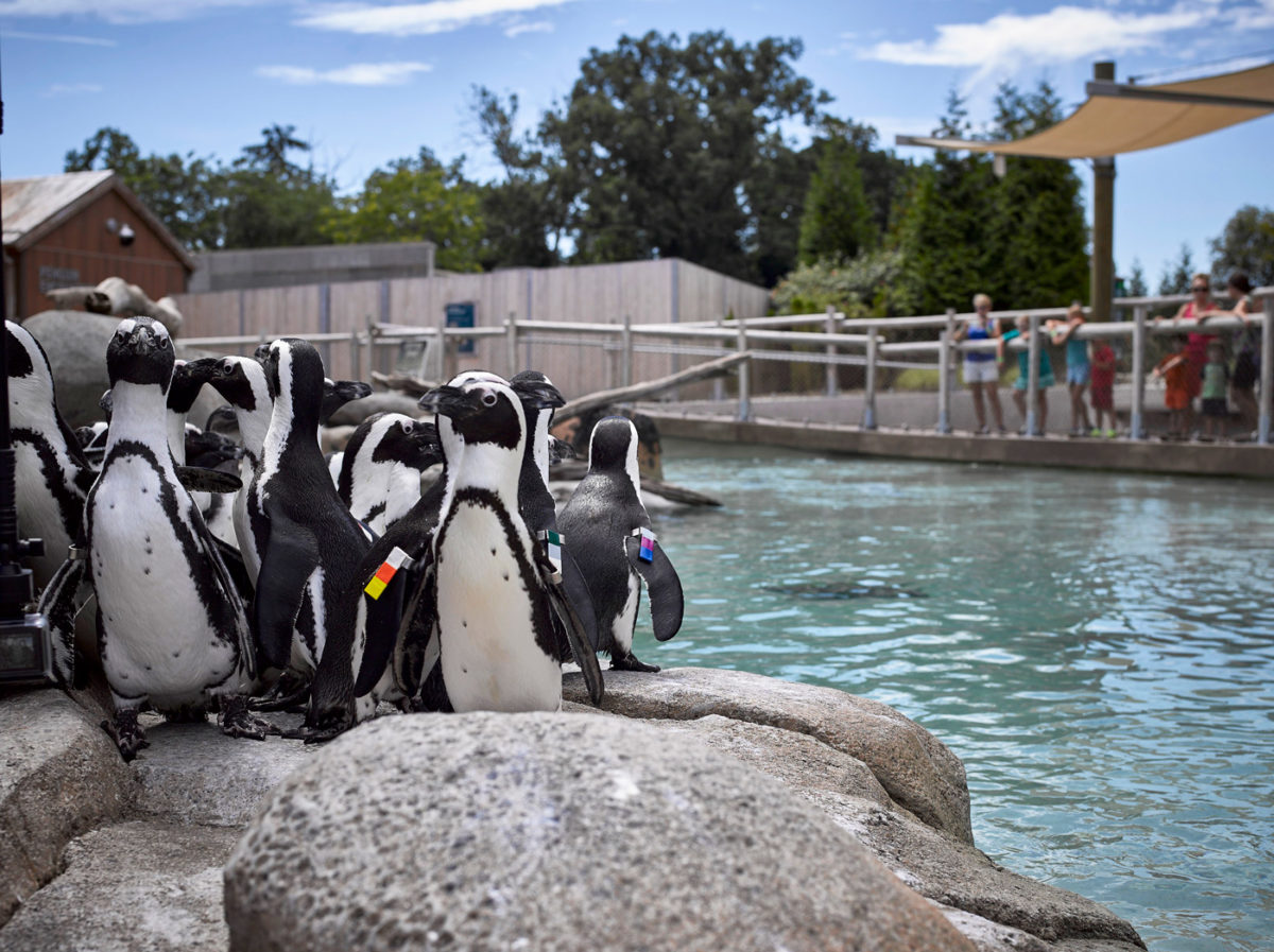 Close up of Magellanic Penguins on a sunny day.